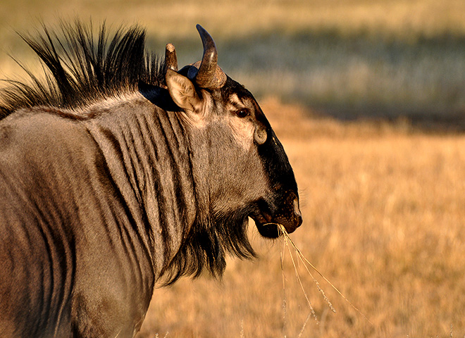 Blue Wildebeest Trophy Hunting Makadi Safaris