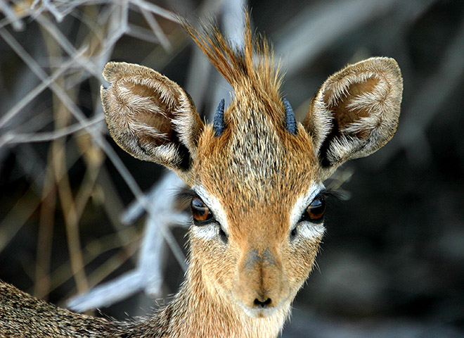 Damara dik-dik Trophy Hunting Makadi Safaris